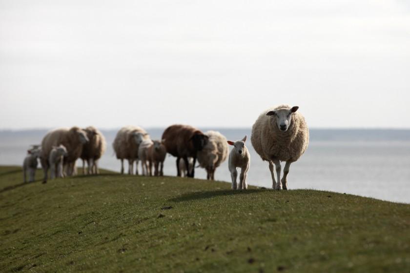 Vielfalt der Rassen - Schafe auf dem Deich