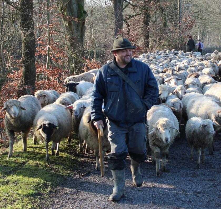 Thomas Golz mit seinen Schafen auf Wanderschaft.