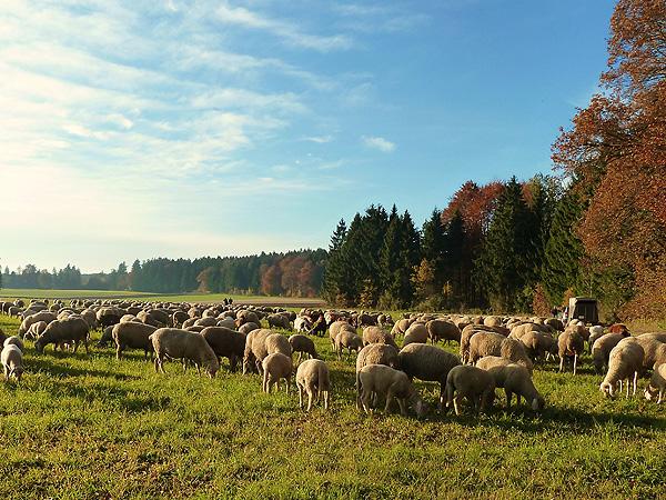 Schafe-auf-der-Herbstweide_1_600