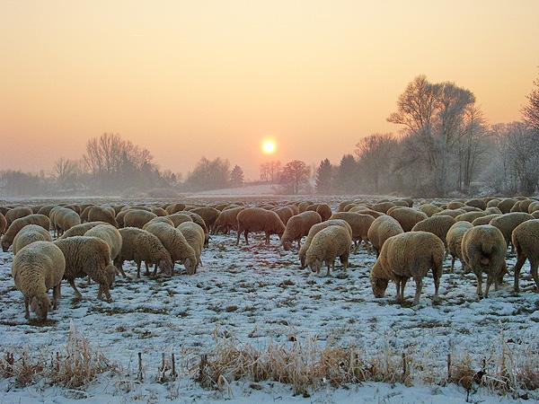 Schafherde-auf-der-Winterweide_600